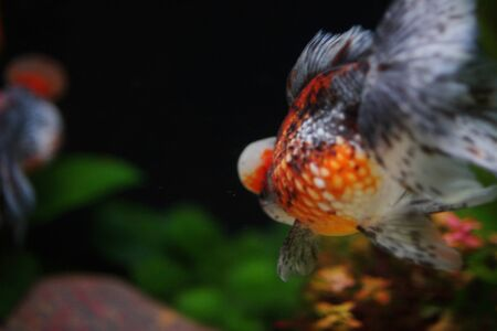 fish tank: the Red and gold fishes in aquarium
