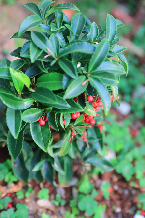 chinese holly: theme of  Chinese medicine , Tung Chung North Park