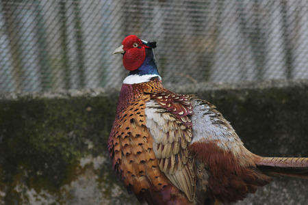 the colorful male ring necked pheasant at nature