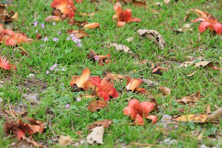 Wilting flowers of the Red Silk Cotton Tree (Bombax Ceiba) lie on the ground Stock Photo