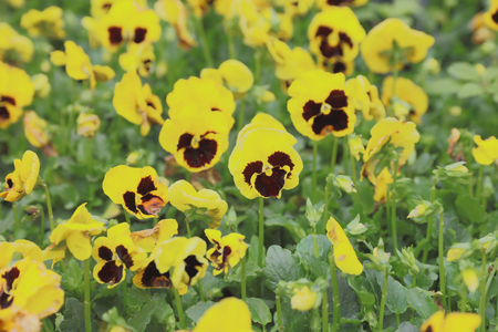 Defocus yellow pansy flowers in spring on green field stock photo defocus yellow pansy flowers in spring on green field stock photo 74676862 mightylinksfo