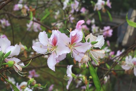 the Bauhinia blakeana, Hong Kong Orchid Tree,