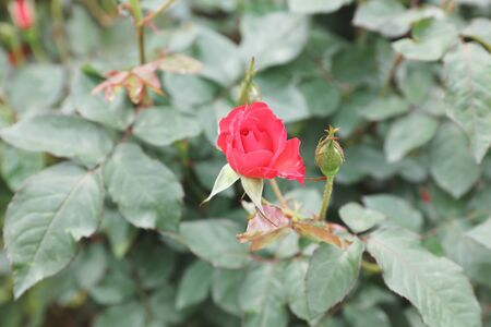 poetic: the color roses bush in the garden at slower show