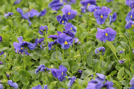violas: the closeup of violas or pansies at flower bed
