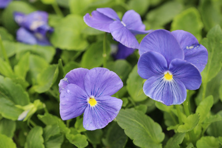 the closeup of violas or pansies at flower bed