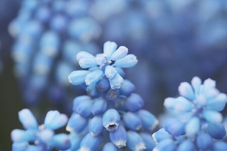 bulb fields: Blue Hyacinths isolated at the flower bed