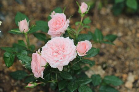 poetic: rose bouquet, flowerat garden with nature Stock Photo