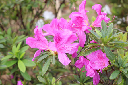 the Rhododendron Flowers in a public park Stock Photo