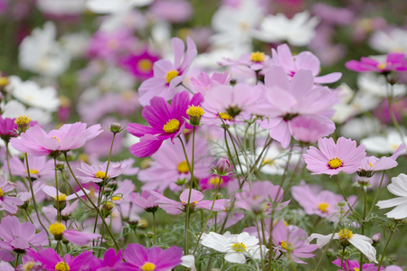 Pink Garden Cosmos or Mexican Aster Flower