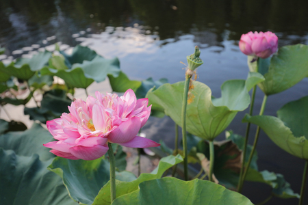 lotus bloom in Reflection of the Lake Shatin Stock Photo