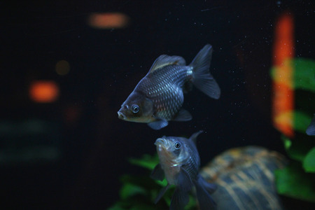 fantail: the Red and gold fishes in aquarium