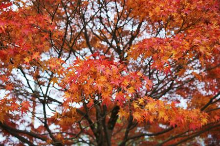 fall in Konkai Komyoji Temple position Residents