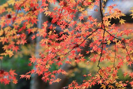 maple tree fall season, Gio ji Temple Banco de Imagens