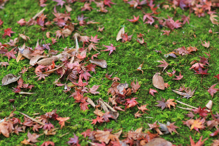 Red maple leave on green moss Gio ji temple