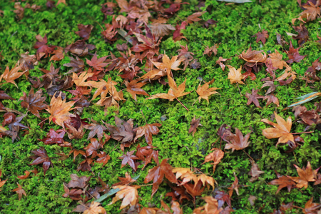red maple leave on green mos gio ji temple