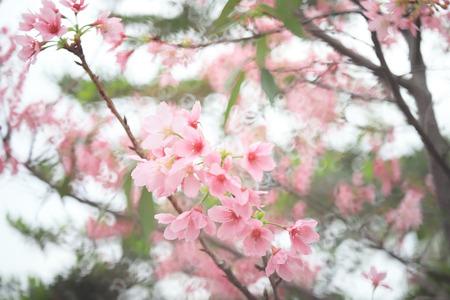 Beautiful Wild Cherry flower blossom at tko