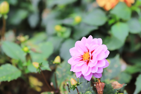 the dahlia flower at the park of flower bed Stock Photo