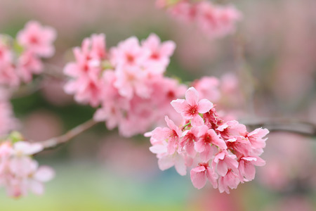 Spring Cherry blossoms, pink flowers at tko