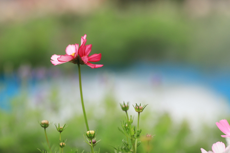 a Beautiful Cosmos flower field at hk spring