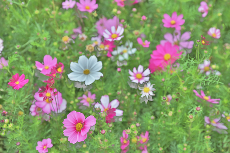Cosmos bipinnatus cloroful flowers garden in spring Stock Photo