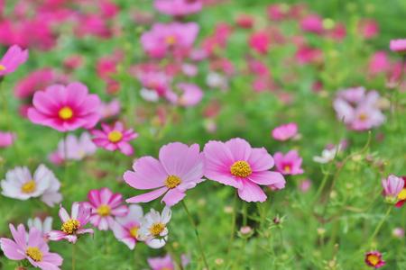 a Cosmos bipinnatus cloroful flowers garden in spring