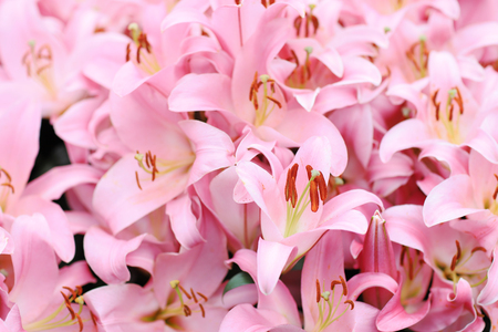 Lilium stargazer is a hybrid lily of the Oriental group.