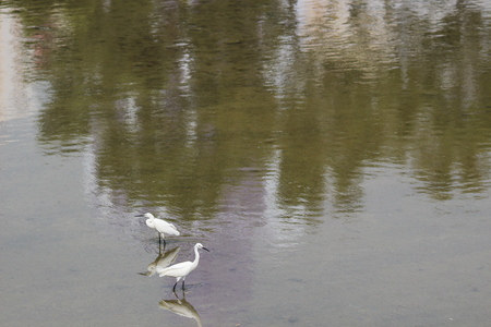 A little white heron stands on the shore against