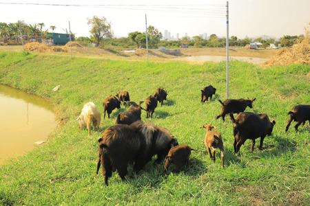the goat eat grass at  Tai Sang Wai