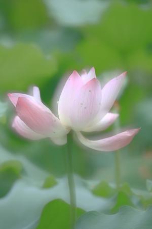lotus flower blossom at summer time hk