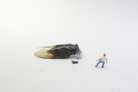 The street fight with the monster Cicadidae