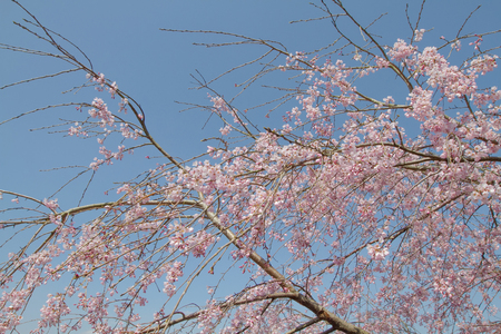 a pink flowers of blossoming cherry on the branch