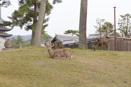 a Deer in Nara Park, nara Japan