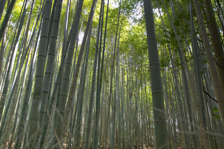a Bamboo Forest in Japan, Arashiyama, Kyoto
