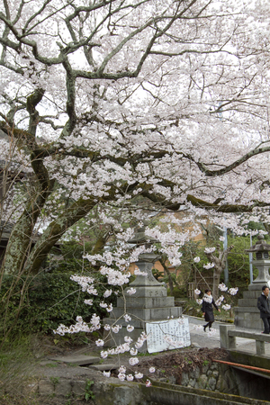 a cherry blossoms on Philosopher Path Kyoto 新聞圖片