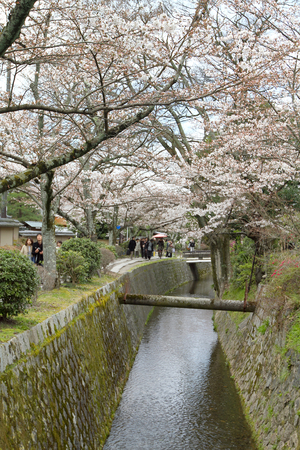 a cherry blossoms on Philosopher Path Kyoto Editorial