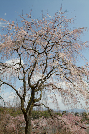 Scenery of spring garden in Tenryu ji temple