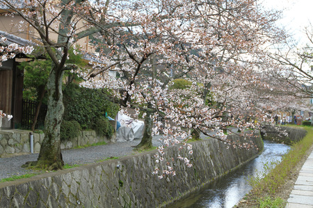 a cherry blossoms on Philosopher Path Kyoto Stock Photo