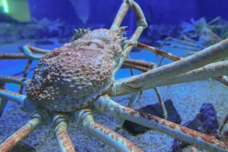 a Close up of Giant spider crab in aquarium