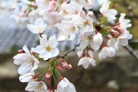 a Sakura Flower or Cherry Blossom With Nature