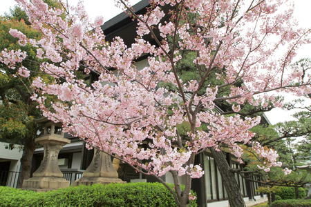 beautiful Sakura blossom in Japan at spring