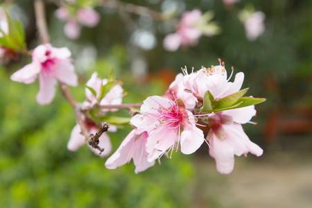 a pink peach Blossom flowers on tree branch