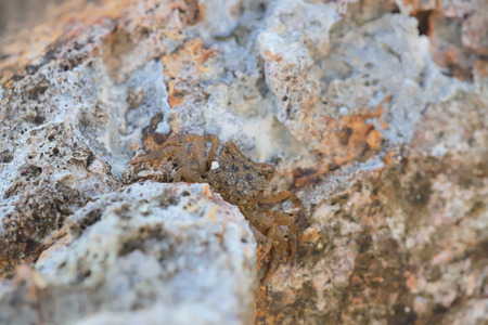 a Small sea crab hide in stones