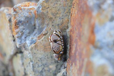 genus of barnacles in family Balanidae Crustacea