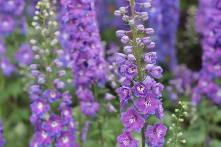 common foxglove flowers Standard-Bild