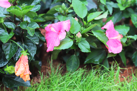 the Hibiscus flower with nature  background 版權商用圖片