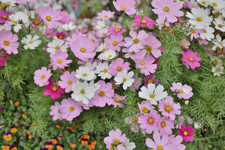 Cosmos flowers on a green background
