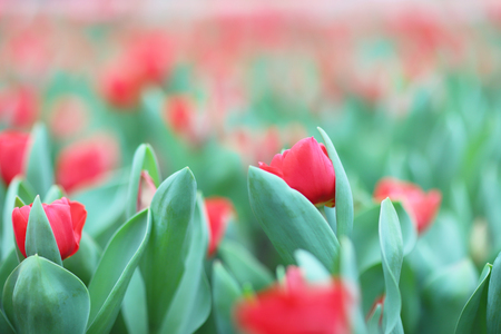 the Colorful tulips flower in the garden