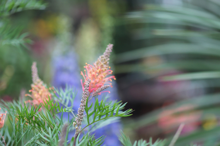 grevillea robusta at the nature with back ground 版權商用圖片