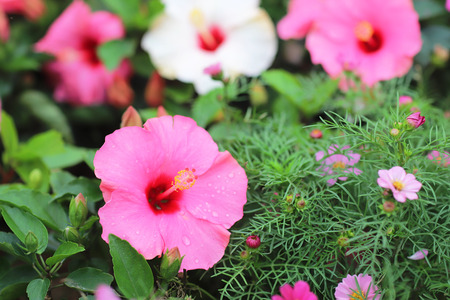 the Hibiscus flower with nature background
