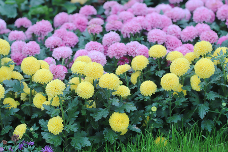 the chrysanthemum flower with nature background